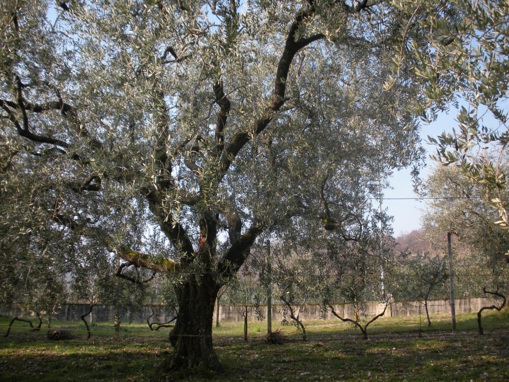 Piante Di Olivo : Piante di olivo invecchiate o cariate È il tempo delle
