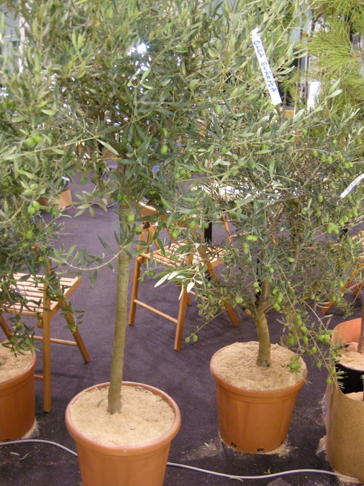 Alberi d 39 olivo in giardino l 39 italia cerca la normalit for Bonsai olivo prezzi