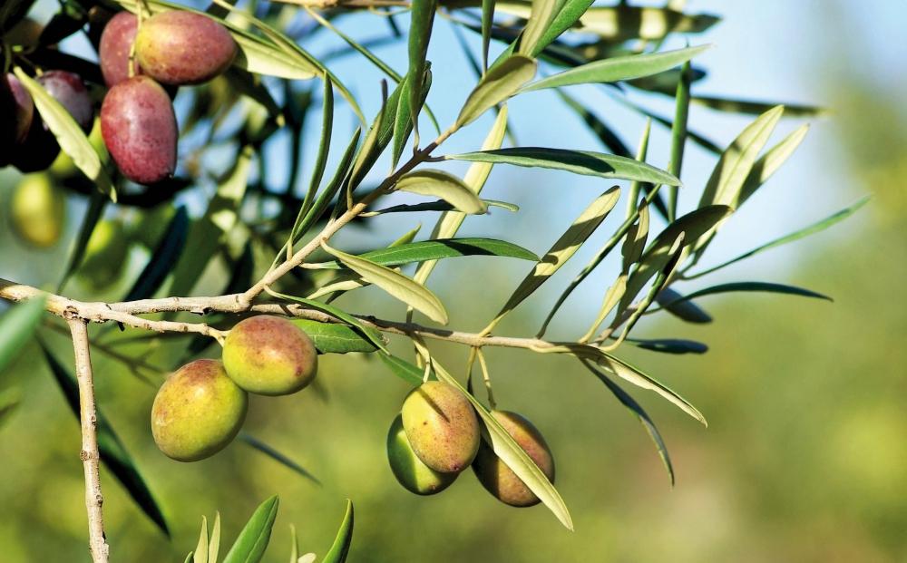 olive_ulivo_albero