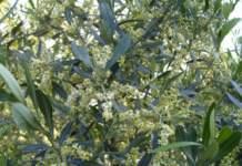 fioritura dell'olivo