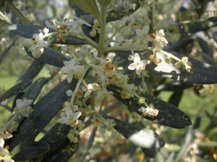 fioritura olivo