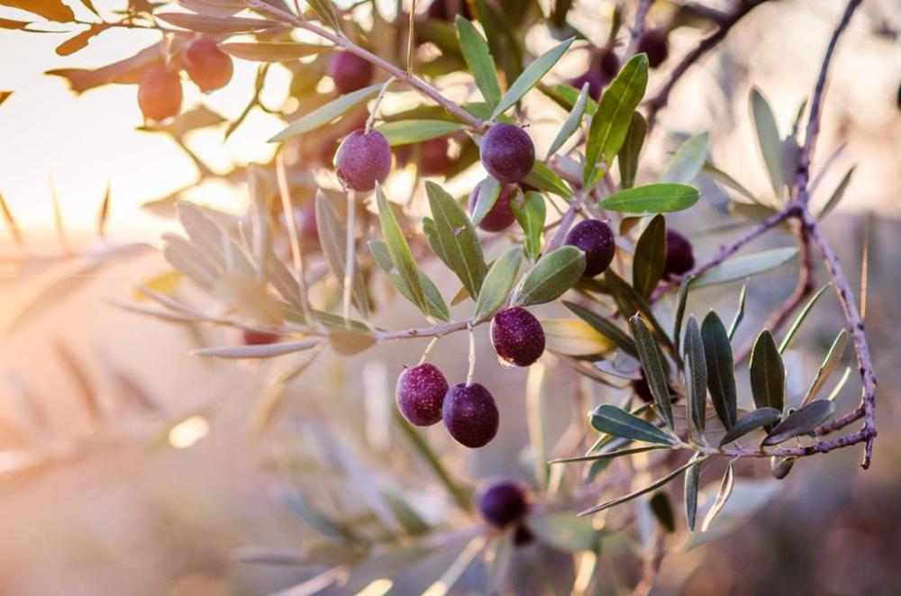 ramo di olivo al tramonto