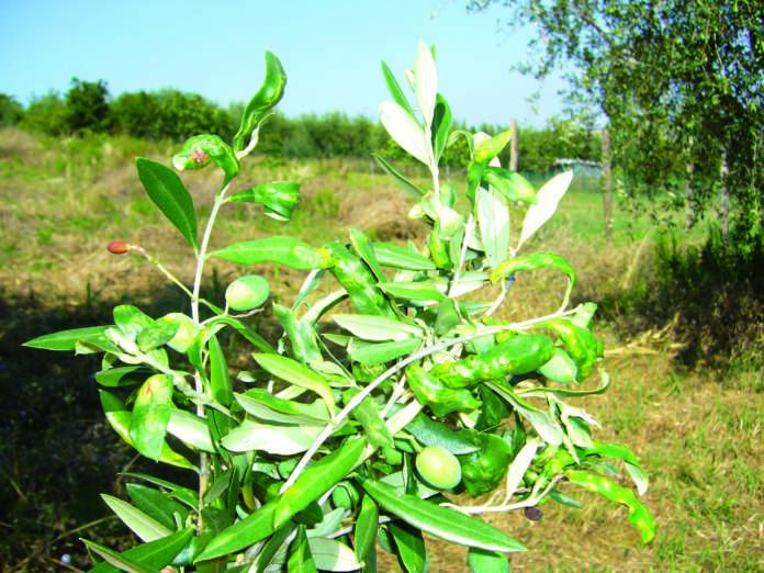 cecidomia fogliare dell'olivo