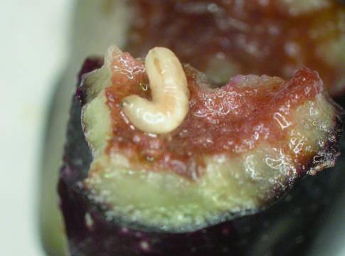 patologie fungine