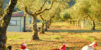 polli in oliveto