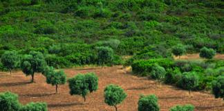 olives de nimes
