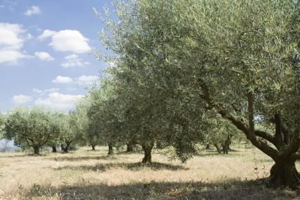 L'olivicoltura italiana ha bisogno di nuovi impianti
