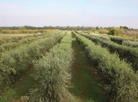 olivicoltura superintensiva
