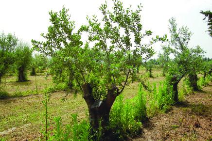 Contro la rogna dell'olivo un esempio di lotta virtuosa