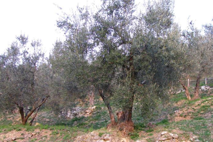 xylella fastidiosa in oliveto