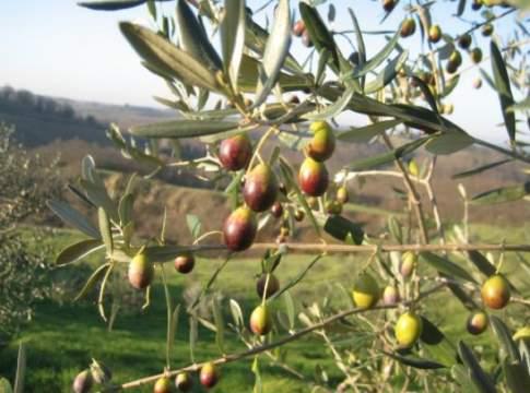 oliva di gaeta