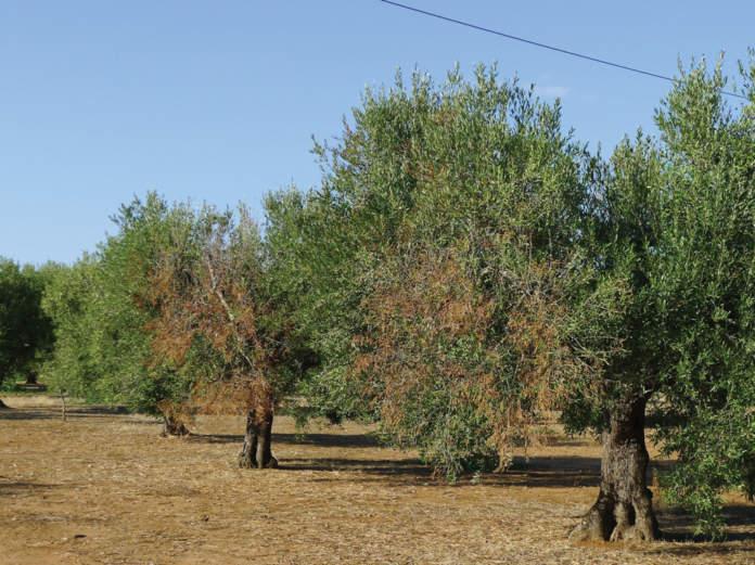 xylella su olivo