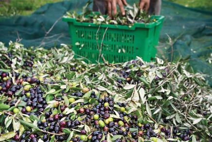 Contro la mosca è fondamentale il monitoraggio delle olive