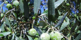 olivicoltura biologica da mensa