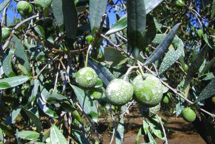 È possibile il biologico per le olive da mensa?