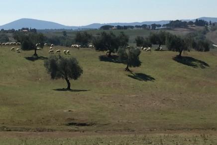 Una filiera trasversale dalle olive agli ovini
