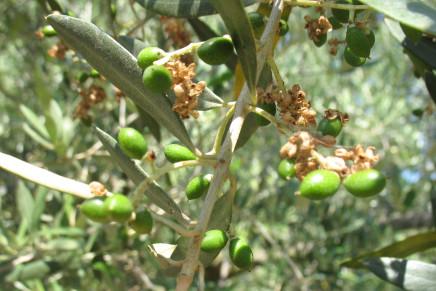 La cascola dei frutti può limitare la produzione