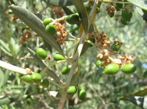 cascola dei frutti dell'olivo