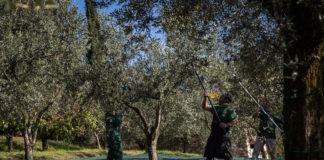 prime olive 2017 redoro olivo e olio