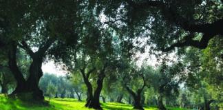 patrimonio olivicolo varietà cultivar