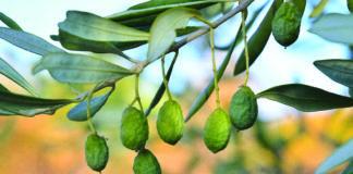 produzione olive con stress idrico