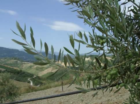 alternanza di produzione olivo