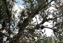 oliveti superintensivi