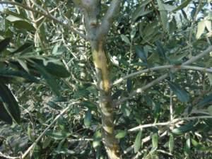 oliveti superintensivi scortecciamento