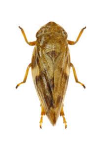 philaenus spumarius vettore della xylella fastidiosa