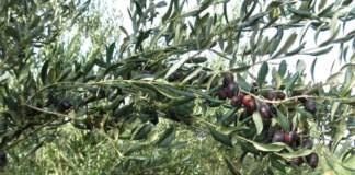 cultivar nociara di olivo superintensivo
