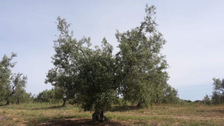 olivi monumentali secolai