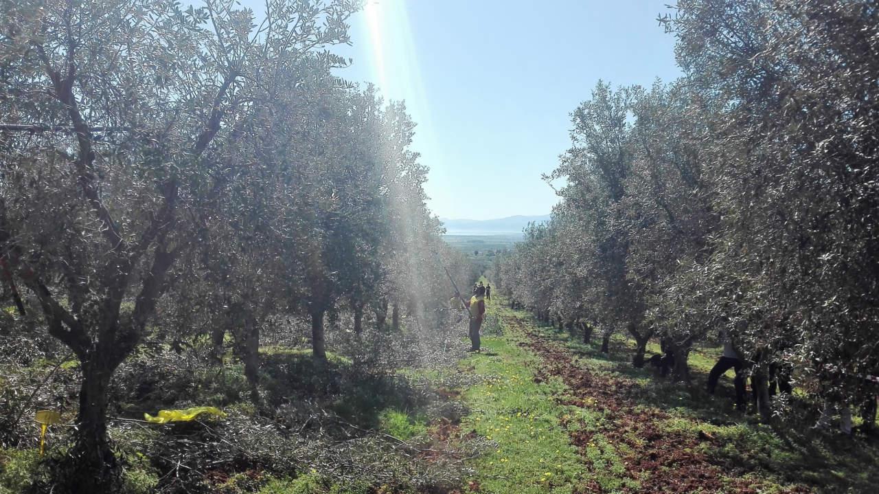 nova agricoltura in oliveto 2018
