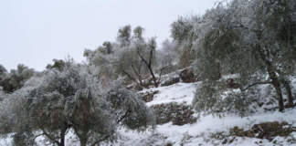 danni da gelo in oliveto