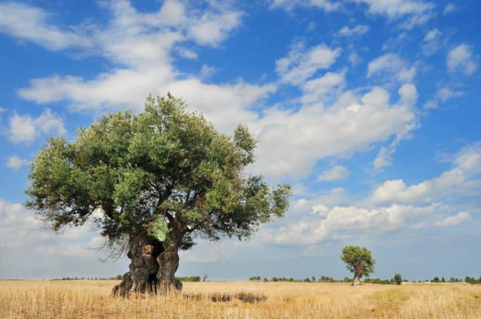 olivi monumentali