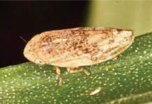 philaenus spumarius, vettore della xylella fastidiosa