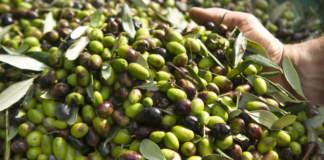 aifo olive