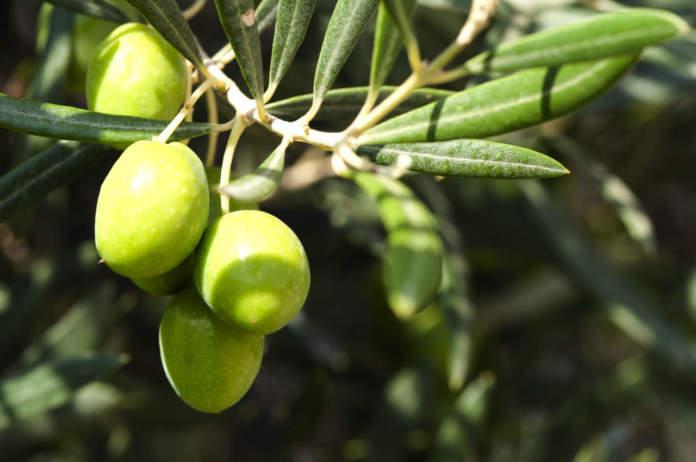 fattore luce su oliveto