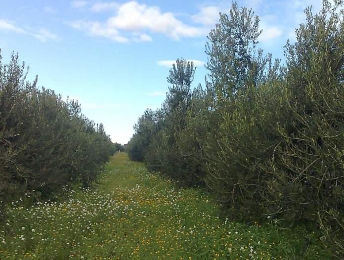 colture di copertura per oliveto