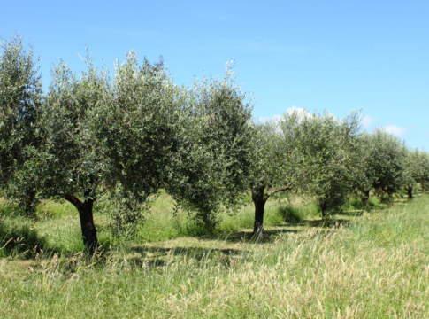 mercato olivicolo