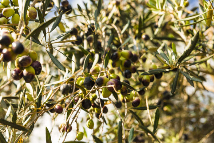 stress idrico in olivicoltura irrigua