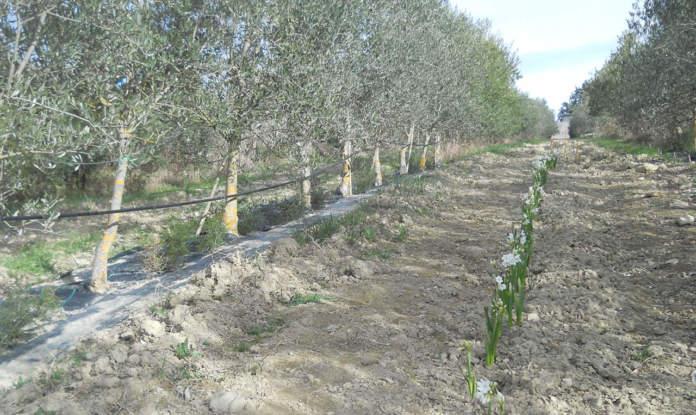 olivicoltura promiscua in oliveto superintensivo
