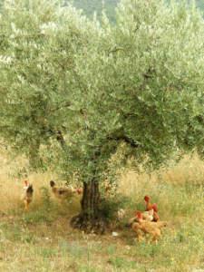 olivicoltura promiscua con allevamento polli