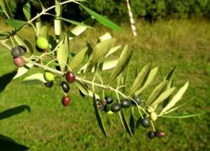 mignola nuova varità di olivo