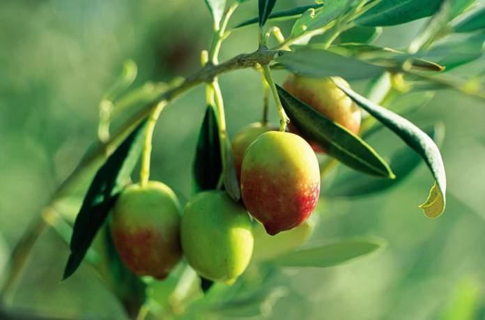 piantone di mogliano varietà di olivo