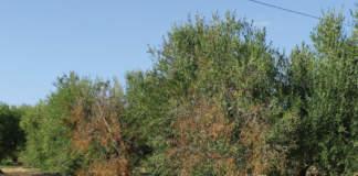 olivi affetti da xylella