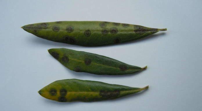 foglio di olivo malate di occhio di pavone