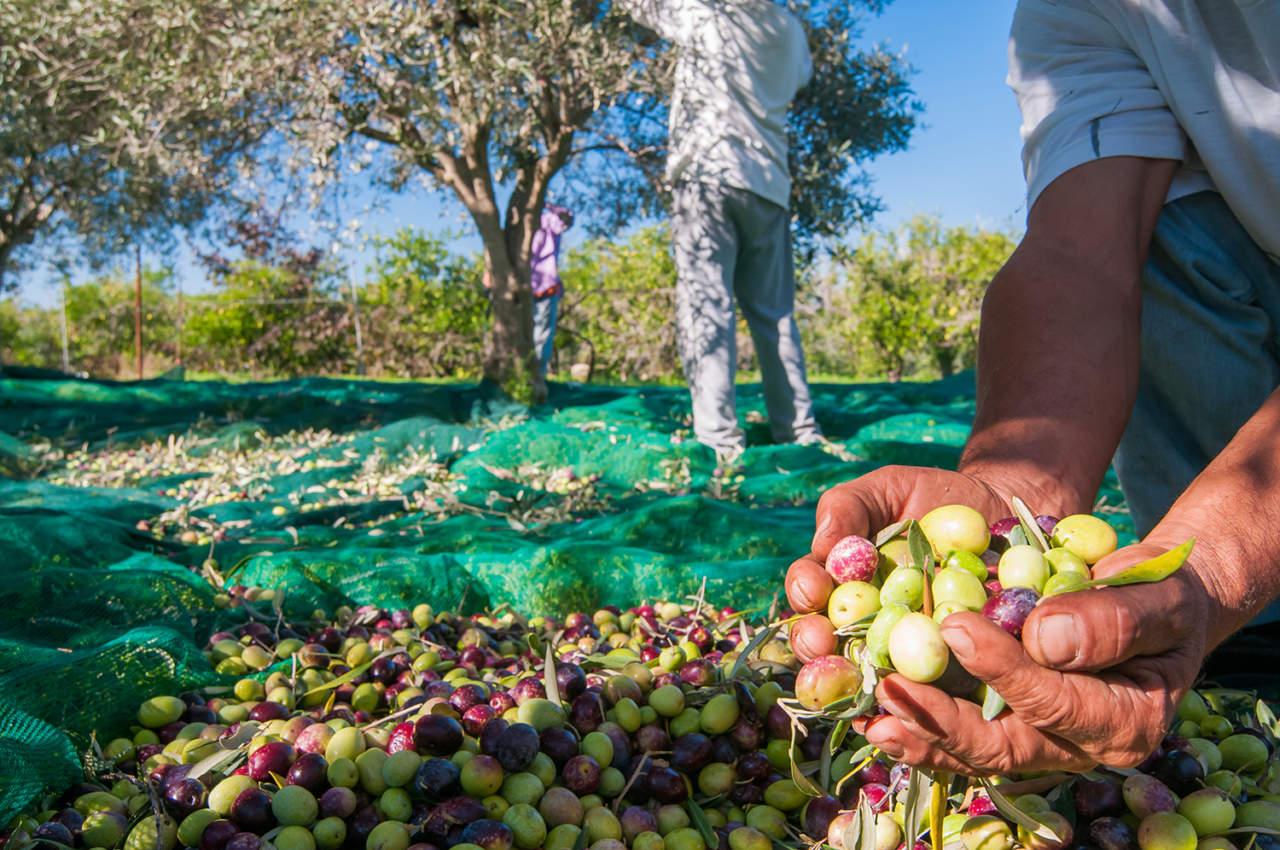 La produzione di olio di oliva made in Italy crolla del 38%