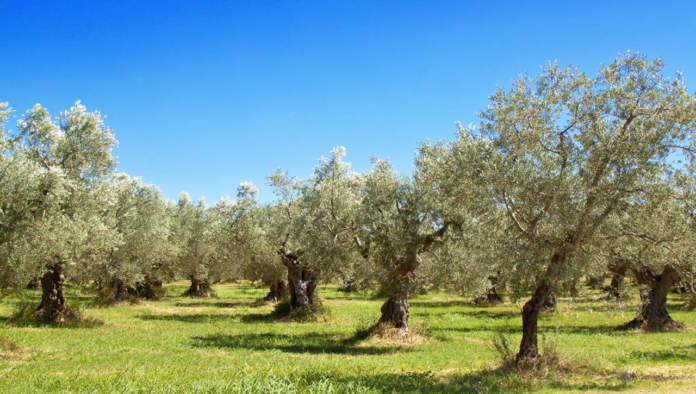 olio italiano