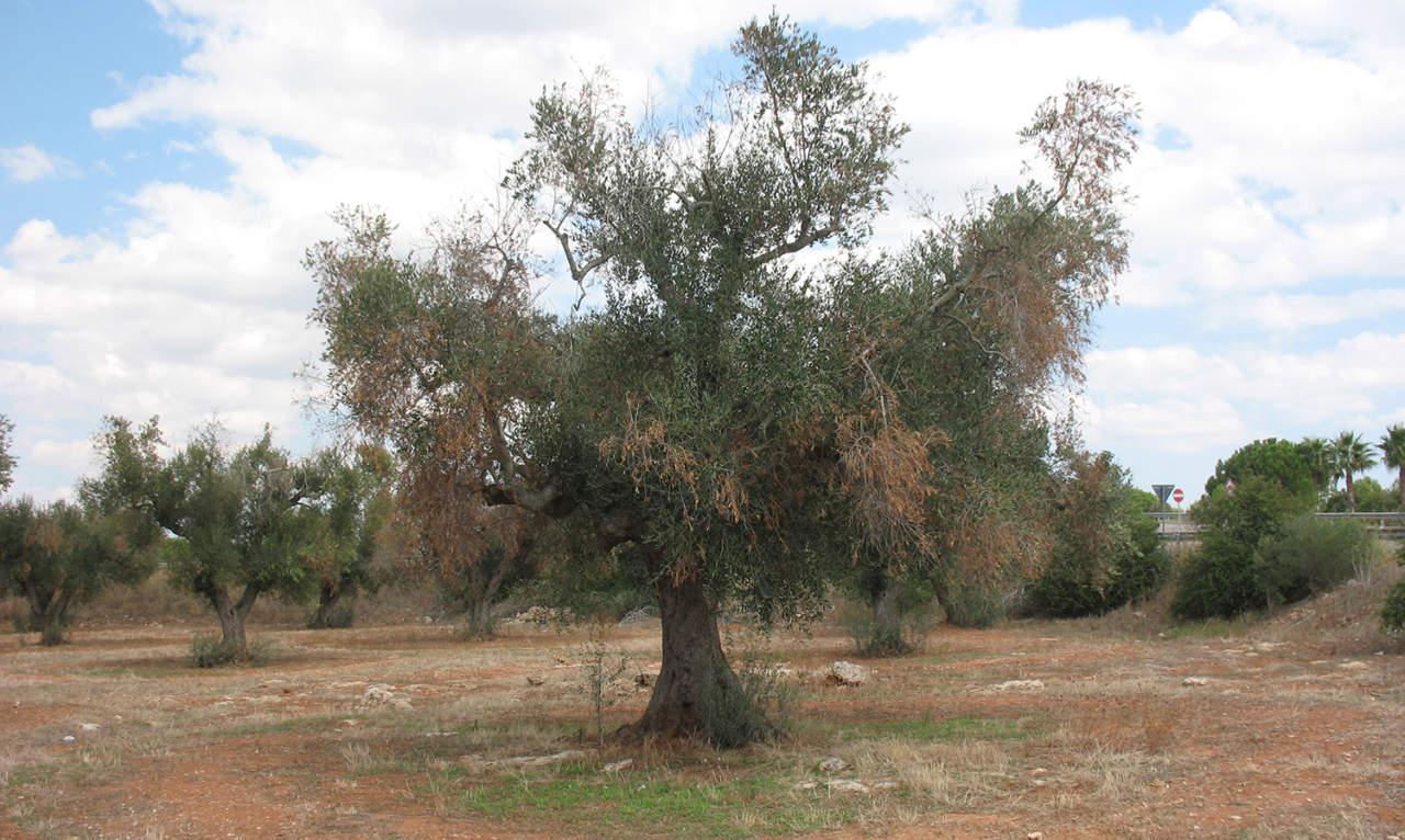 Mappa Xylella Puglia.Emergenza Xylella Zone Delimitate Aggiornate Mipaaft E Il Nuovo Decreto