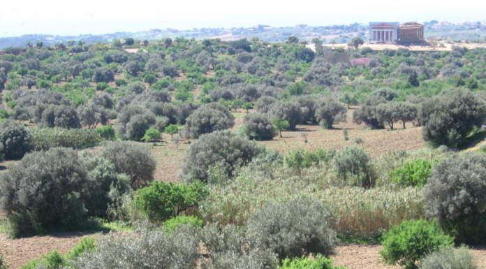paesaggio olivicolo tradizionale